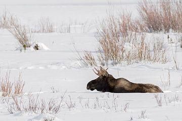 Eland ( Alces alces ), jonge stier eland in de winter, rustend in natuurlijke omgeving in de sneeuw, van wunderbare Erde