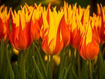 Tulipes ardentes