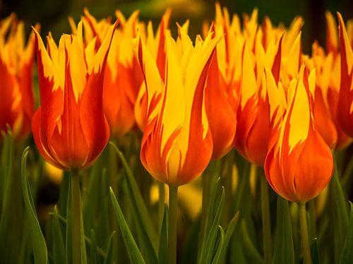 Tulipes ardentes sur Martijn Tilroe