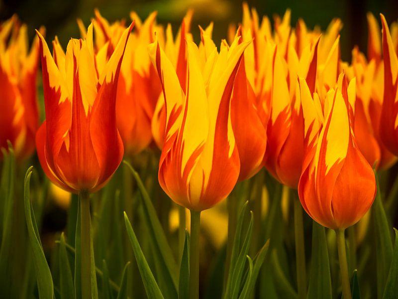 Feurige Tulpen von Martijn Tilroe