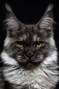 Nahaufnahme des Kopfes einer schwarzen Maine Coon Katze von Nikki IJsendoorn