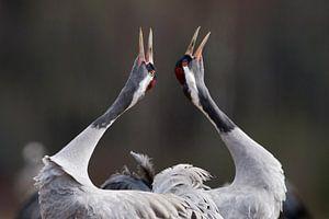 Baltsende Kraanvogels van Beschermingswerk voor aan uw muur