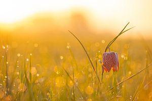 Kievitsbloemen  in een veld tijdens een prachtige lente zonsopkomst met dauwdruppels op het gras.