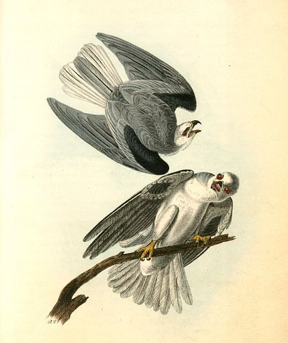 Zwarte schouder Elanus, Black-shouldered Elanus., Audubon, John James, 1785-1851