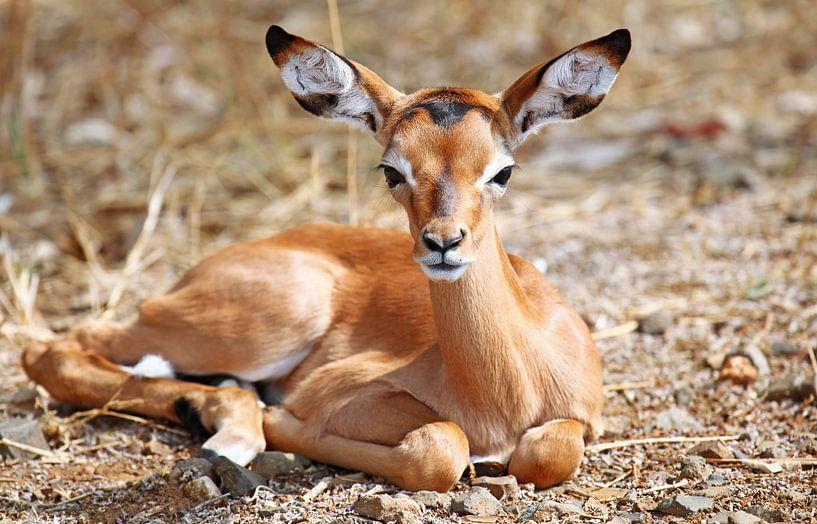 Young Impala - Africa wildlife van W. Woyke