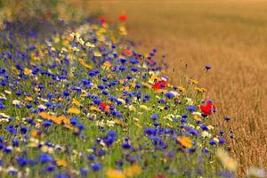 Tarwe akker naast berm met veldbloemen.