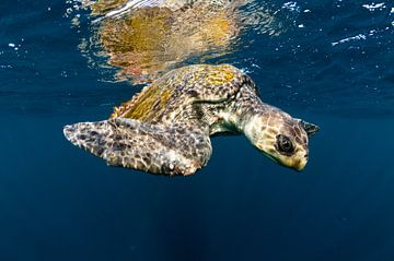 Zeeschildpad reflecties van Joost van Uffelen