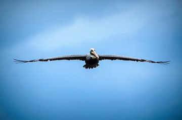 Bruine pelikaan van