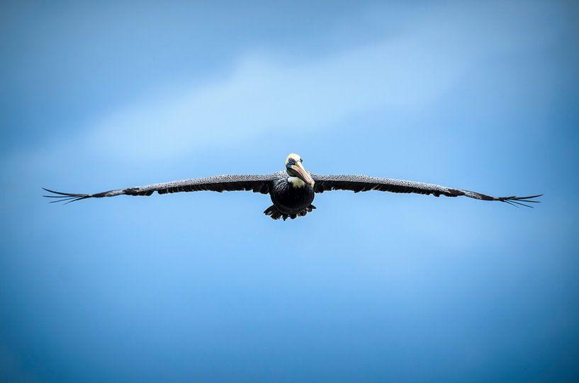 Bruine pelikaan van Richard Guijt