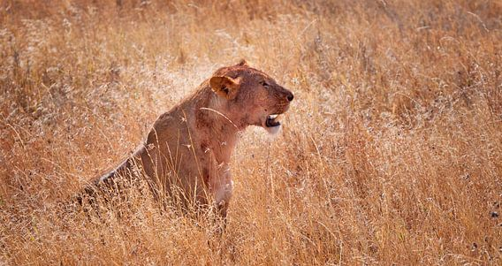 leeuwin in het hoge gras