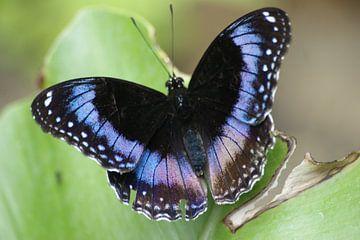 Vlinder op blad van Sander van Klaveren