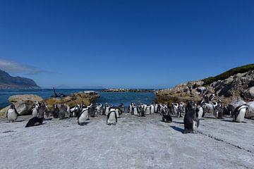 Pinguïns in Zuid Afrika. van Tilly Meijer
