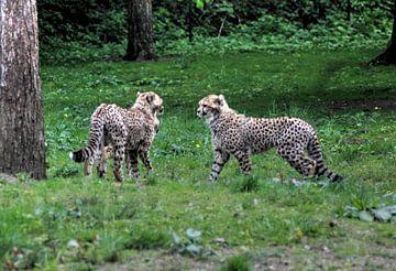 Twee jachtluipaard jongen van michael meijer