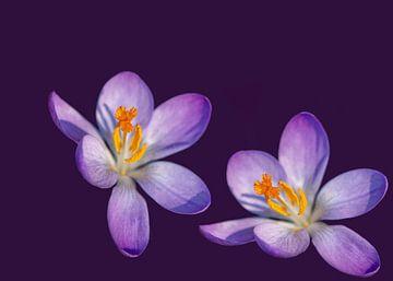Paarse lente bloemen met een goudgele middenpunt