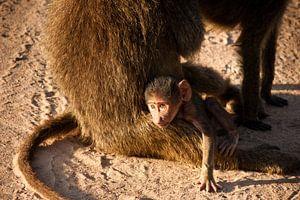 Dagdromende baby baviaan