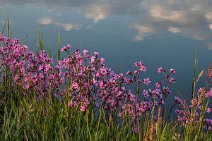 Koekoeksbloemen langs de sloot in de lente in Waterland