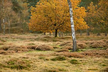 Heidelandschap met berk in de herfst von Merijn van der Vliet