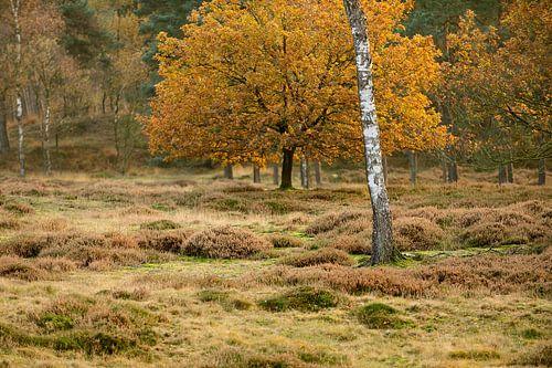 Heidelandschap met berk in de herfst van Merijn van der Vliet
