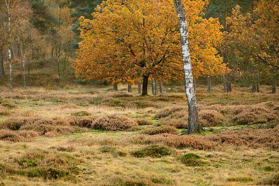 Heidelandschap met berk in de herfst