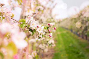bloesem appelboomgaard van Karin Verhoog