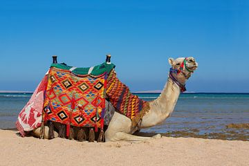 Deze kleurrijke kameel ligt op het strand bij zee in Hurghada in Egypte van Ben Schonewille