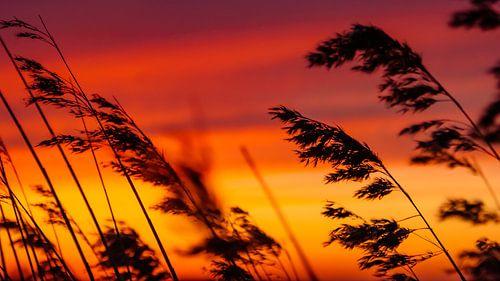 Silhouet van rietpluimen bij zonsondergang