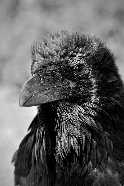 Porträt einer Krähe in den Vereinigten Staaten von Carolina Reina
