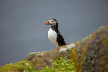 Papegaaiduiker, Fratercula arctica. Schotse kust. van