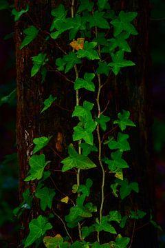 Hedera aan boom van Fons Baardman