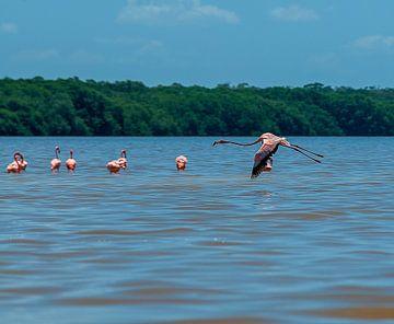 Amerikaanse flamingo von Maarten Verhees