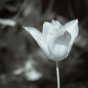 Witte tulp. van Ad Van Koppen
