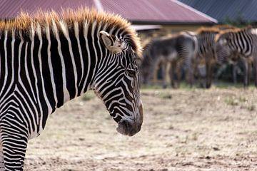 Grevyzebra (Zebra) von Rob Legius