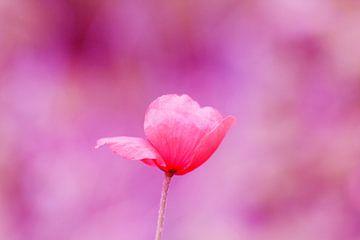 De klaproos (roze) von