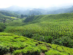 Groene thee plantage in Maleisië