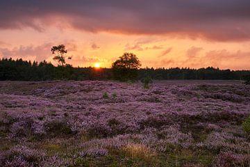 Zonsondergang boven de bloeiende heide
