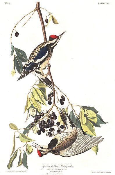 Geelbuiksapspecht van Birds of America