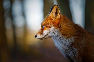 fox potrait