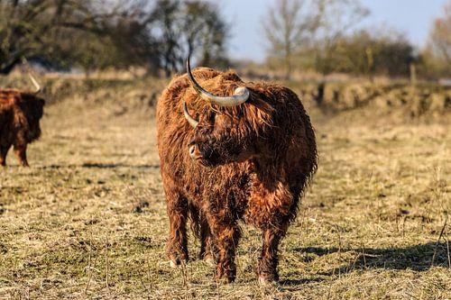 Schotse hooglander met lange horens en haren