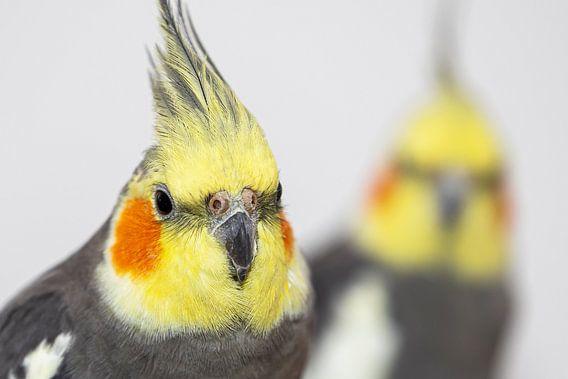 Twee cockatiels