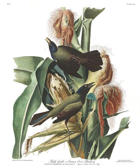 Glanstroepiaal van Birds of America