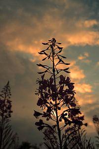 bloem bij zonsondergang