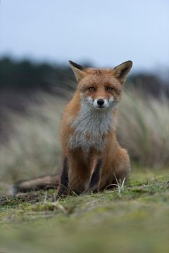 De rode vos ( Vulpes vulpes vulpes ) zit op zijn achterpoten, kijkt kritisch nieuwsgierig in de came van wunderbare Erde