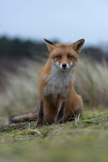 De rode vos ( Vulpes vulpes vulpes ) zit op zijn achterpoten, kijkt kritisch nieuwsgierig in de came