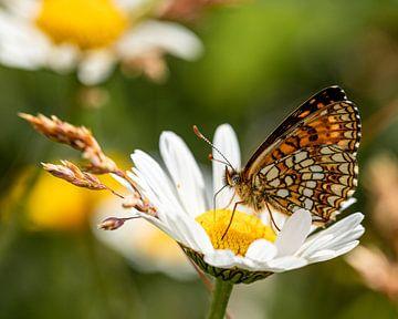 Een prachtige woudparelmoervlinder op een margriet van Marjolein Fortuin