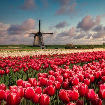 Tulpen und windmühle von Peter Bolman