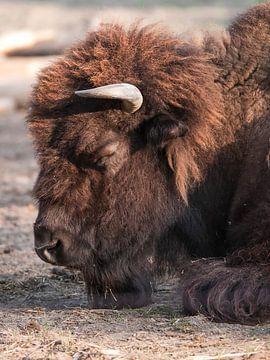 Bison : Tierpark Blijdorp von Loek Lobel