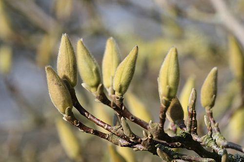 Magnoliaknoppen van Geert Naessens