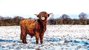 Schotse Hooglanders 5 van Jeanien de Gast
