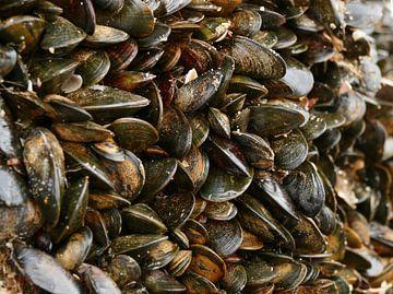 Muscheln in Reihen von Carla van Zomeren