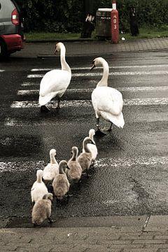 family Swan / famille cygne / familie Zwaan van melissa demeunier
